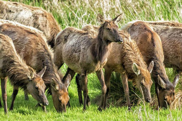 Photograph - Elk In Early Evening by Belinda Greb