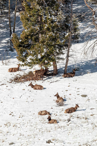 Photograph - Elk In May Snow by Steve Krull