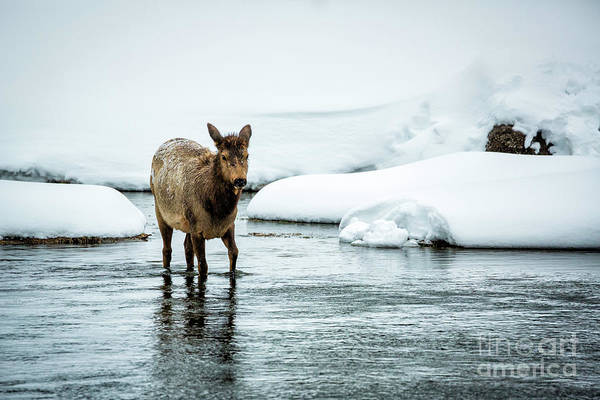 Wall Art - Photograph - Elk In River by Timothy Hacker