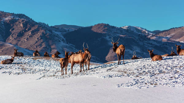 Photograph - Elk In Snow by Jeanette Fellows