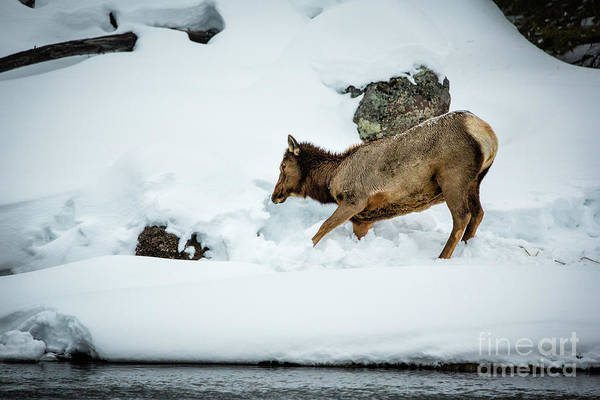 Wall Art - Photograph - Elk In Snow Yellowstone by Timothy Hacker