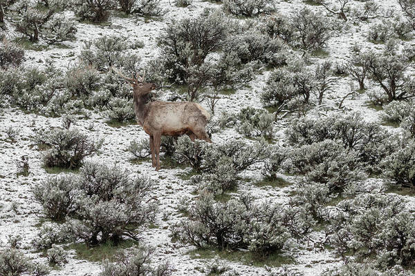 Photograph - Elk In Spring by Ronnie and Frances Howard