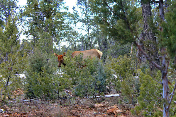 Canyon Mixed Media - Elk In The Grand Canyons 0077 by G Berry