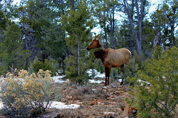 Canyon Mixed Media - Elk In The Grand Canyons 0088 by G Berry
