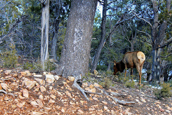 Canyon Mixed Media - Elk In The Grand Canyons 990 by G Berry