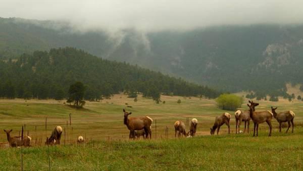 Photograph - Elk In The Meadow by Dan Miller