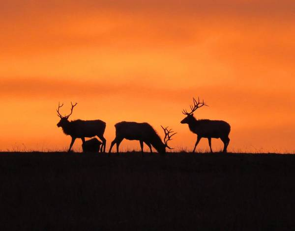 Photograph - Elk In The Morning Light by Keith Stokes