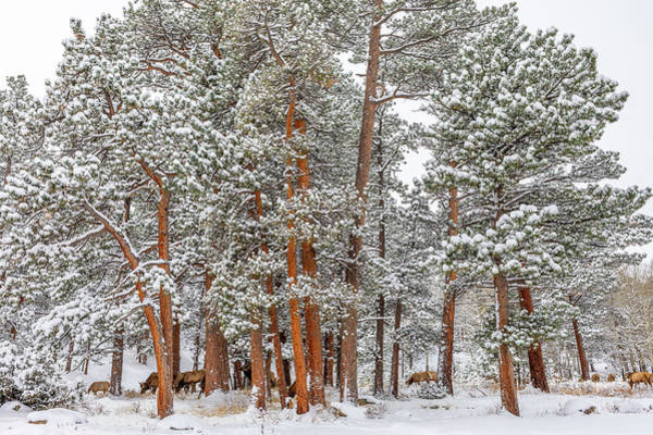 First Snowfall Wall Art - Photograph - Elk In The Pines by Eric Glaser
