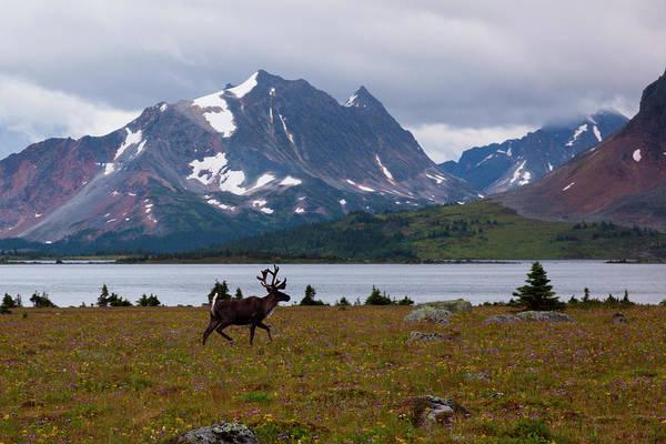 Art In Canada Photograph - Elk, Jasper National Park, Alberta by Mint Images/ Art Wolfe