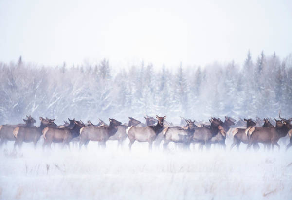 Photograph - Elk Migration by Ted Hesser