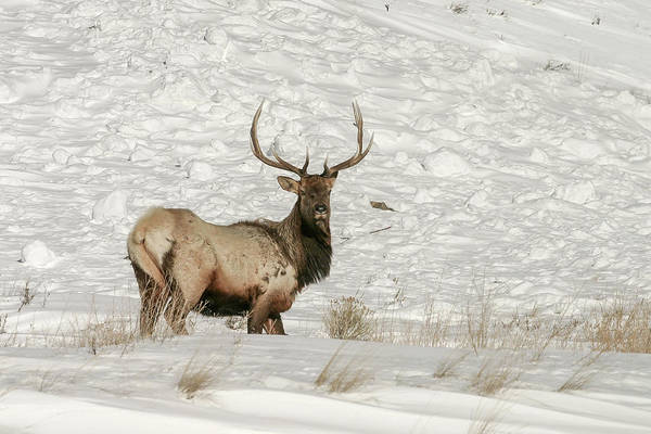 Photograph - Elk Posing by Ronnie and Frances Howard