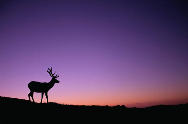 Photograph - Elks, Rocky  Mountain National Park by Art Wolfe