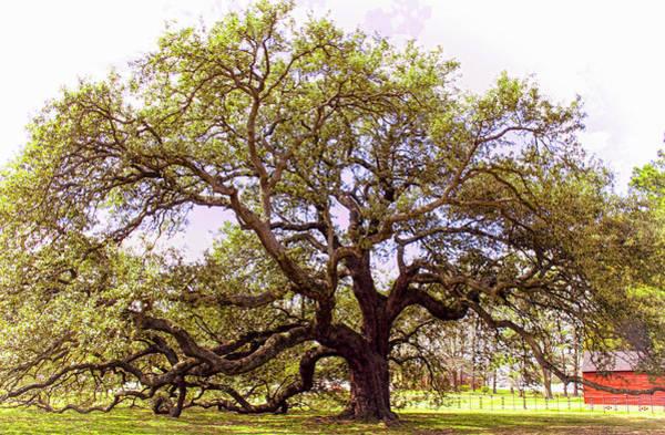 Photograph - Emancipation Oak  Symbol Of Freedom by Ola Allen