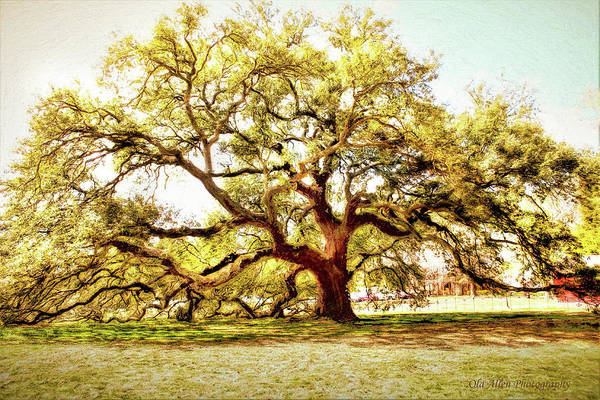 Photograph - Emancipation Oak by Ola Allen