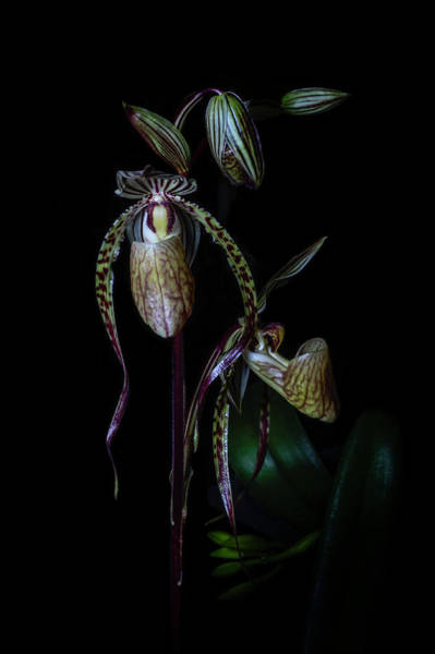 Photograph - Emerging Paphs by Cyndy Doty