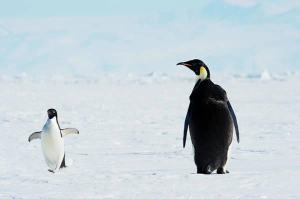 Emperor Photograph - Emperor And Adélie Penguins, Antarctica by Ben Cranke