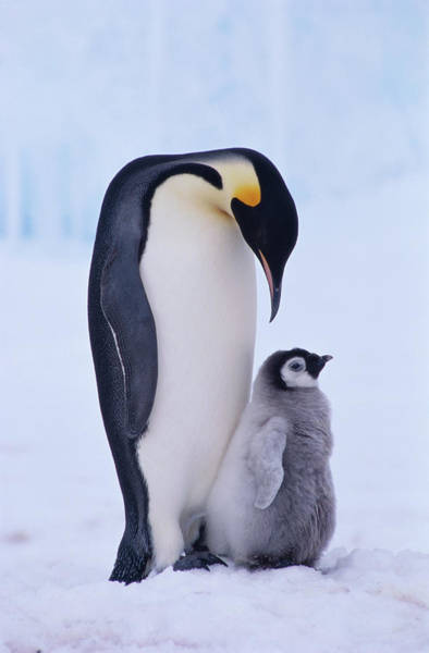 Emperor Photograph - Emperor Penguin Adult With Chick by Kevin Schafer