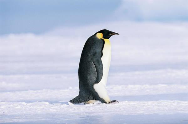 Emperor Photograph - Emperor Penguin Aptenodytes Forsteri by David Tipling