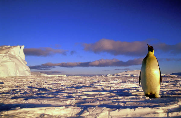 Shelf Cloud Photograph - Emperor Penguin Aptenodytes Forsteri On by Danita Delimont