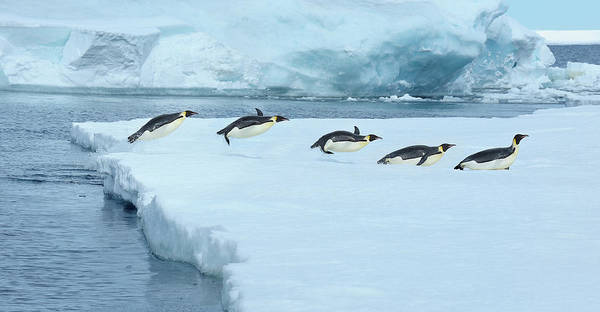 Emperor Photograph - Emperor Penguin, Aptenodytes Forsteri by Raimund Linke