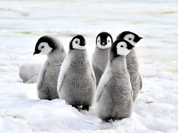Parents Wall Art - Photograph - Emperor Penguin Chicks On The Snow In by Vladsilver