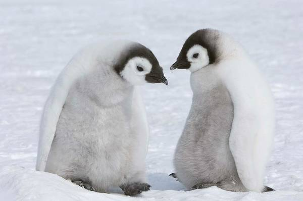 Emperor Photograph - Emperor Penguin Chicks by Thomas Kokta