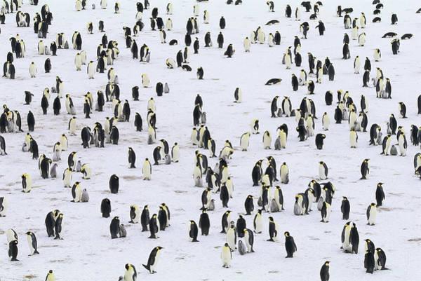 Emperor Photograph - Emperor Penguin Colony Aptenodytes by Art Wolfe