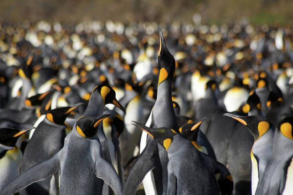 The Rookery Wall Art - Photograph - Emperor Penguin Colony by Simon Bottomley