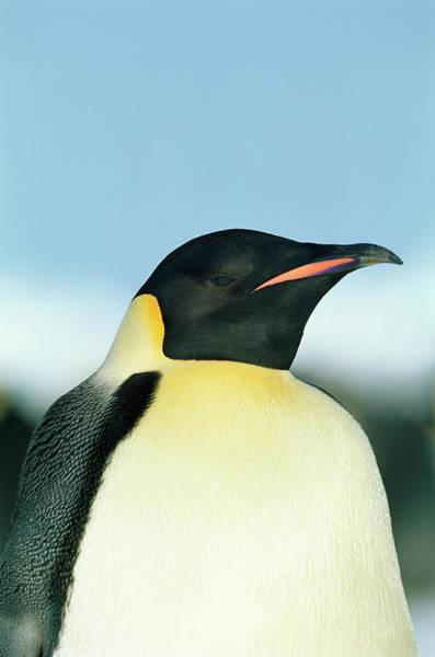 Wall Art - Photograph - Emperor Penguin by David Tipling