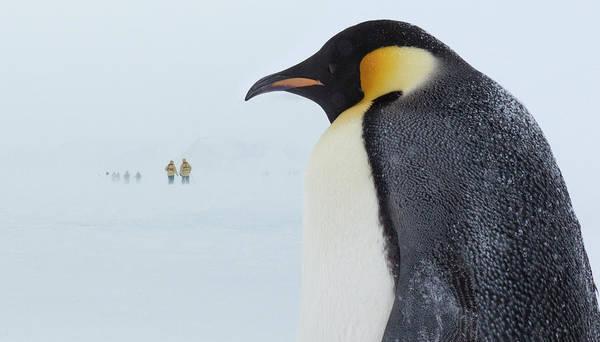 Emperor Photograph - Emperor Penguin by Keren Su