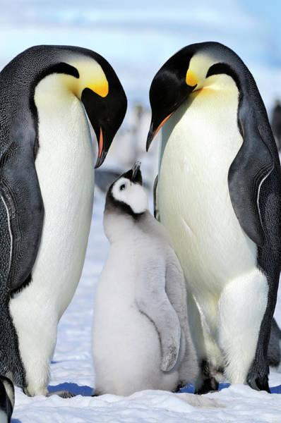 Emperor Photograph - Emperor Penguin by Tcyuen