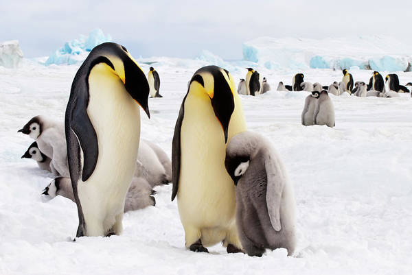 The Rookery Wall Art - Photograph - Emperor Penguins And Chick by Mike Hill