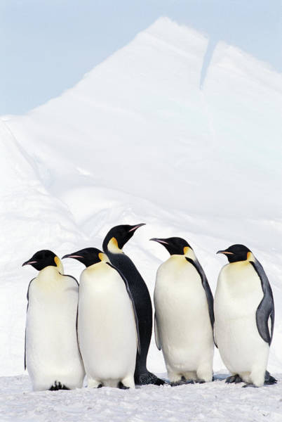 Emperor Photograph - Emperor Penguins And Icebergs, Weddell by Joseph Van Os