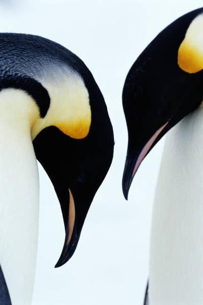 Emperor Photograph - Emperor Penguins Courtship, Antarctica by Joseph Van Os