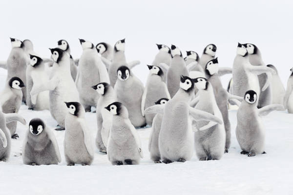 Emperor Photograph - Emperor Penguins, Group Of Chicks by Martin Ruegner