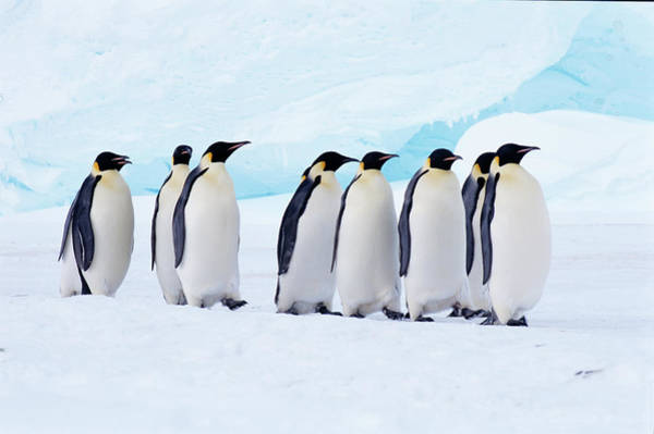 Emperor Photograph - Emperor Penguins Walk To Sea, Weddell by Joseph Van Os