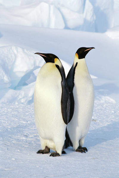 Romance Photograph - Emperor Penguins, Weddell Sea by Joseph Van Os