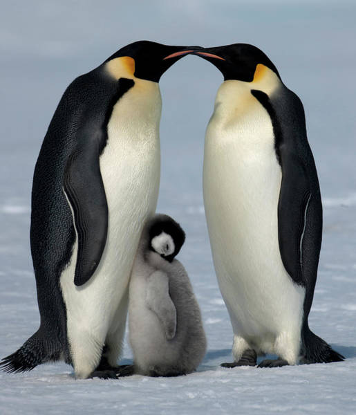 Wall Art - Photograph - Emperor Penguins With Chick by David Yarrow Photography
