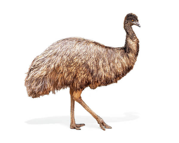 Wall Art - Photograph - Emu Bird Named Edna by Susan Schmitz