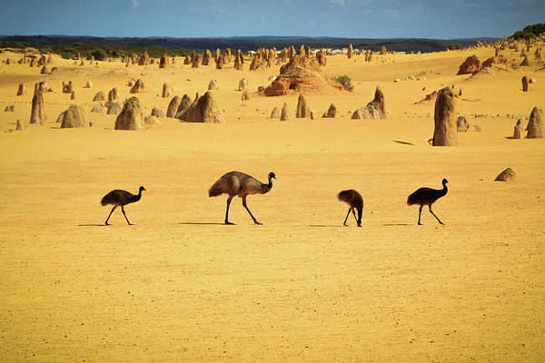 Emu Photograph - Emus In Nambung National Park by Photography By Ulrich Hollmann