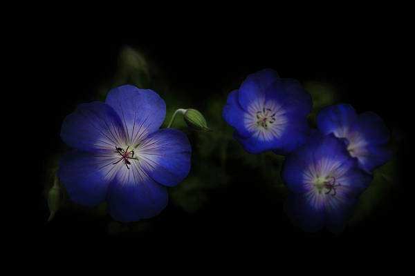 Photograph - Enchanted Blues by Debra and Dave Vanderlaan