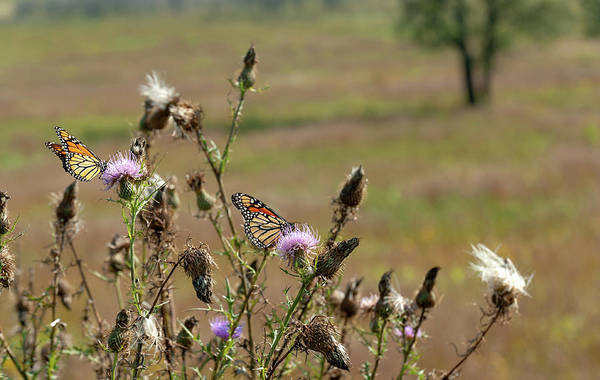 Photograph - End Of Summer Monarchs Big Meadows by Lara Ellis