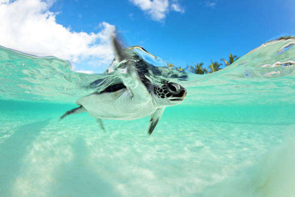 Wall Art - Photograph - Endangered Baby Green Sea Turtle by Michele Westmorland