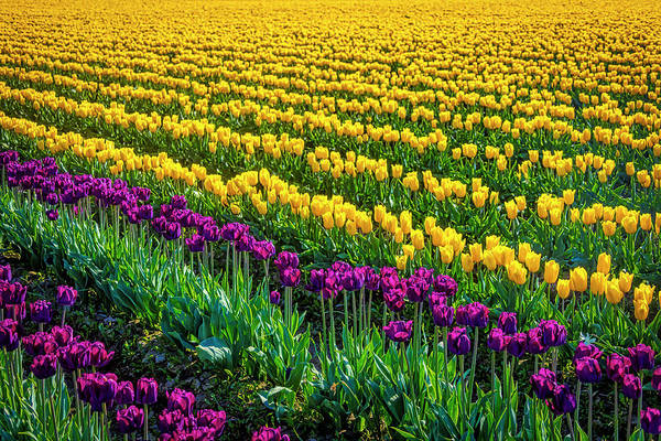 Wall Art - Photograph - Endless Purple And Yellow Tulips by Garry Gay