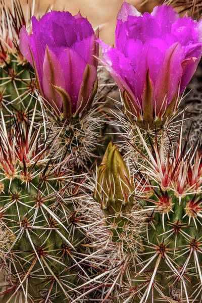 Wall Art - Photograph - Engelmann's Hedgehog Cactus In Full by Chuck Haney