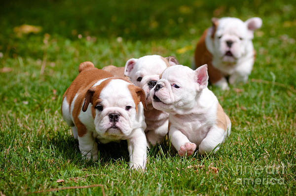 Alert Wall Art - Photograph - English Bulldog Puppies Playing Outdoors by Otsphoto