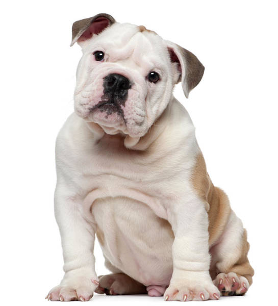 Puppy Photograph - English Bulldog Puppy 2 Months Old by Life On White