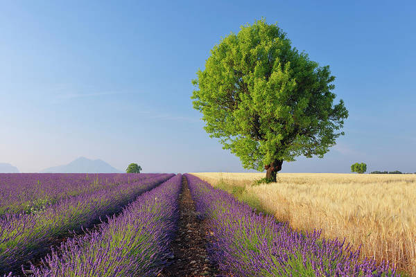 Viewpoint Photograph - English Lavender And Wheat Field With by Martin Ruegner