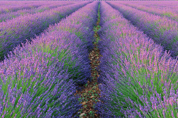 Viewpoint Photograph - English Lavender Field, Valensole by Martin Ruegner