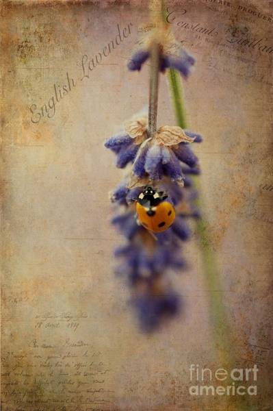Ladybird Wall Art - Photograph - English Lavender by John Edwards